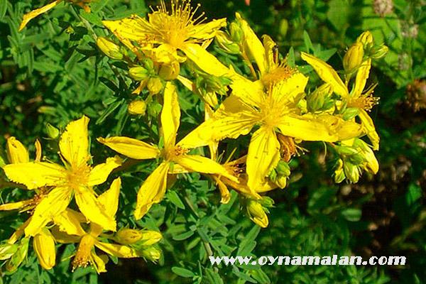 sarı kantarunun faydaları, kantaron yağının faydaları, kantaron yağı nedir